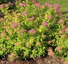 Goldflame Spirea ( dwarf shrub)... easy, low maintenance. Pretty throughout the summer.