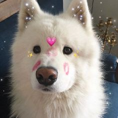 9 Samoyed Saturday Dog Samoyed Photos Who doesnt love cute fluffy dogs and are some of the cutest. Cute Animal Memes, Cute Funny Animals, Cute Baby Animals, American Eskimo Dog, Samoyed Dogs, Cute Love Memes, Fluffy Dogs, Cute Dogs And Puppies, Oui Oui