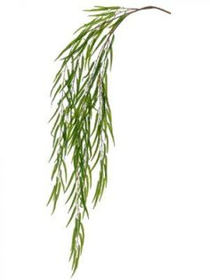weeping willow botanical drawing - Google Search