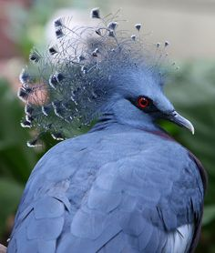 Victoria Crowned Pigeon is a large, bluish-grey pigeon with elegant blue lace-like crests, maroon breast and red iris. It is part of a genus of three unique very large, ground-dwelling pigeons native to the New Guinea region Pretty Birds, Beautiful Birds, Animals Beautiful, Yorkie Names, Rare Birds, Kinds Of Birds, Mundo Animal, All Gods Creatures, Fauna