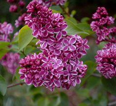 lilacs pictures |