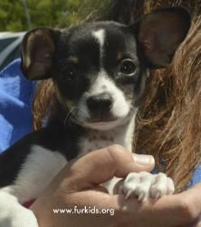 Regina Rick is an adoptable Toy Fox Terrier Dog in Atlanta, GA. I'm Regina Rick and I was just rescued by SmallDog Rescue! Now I have a chance at a forever home. I'm a Toy Fox Terrier mix and 3 months...