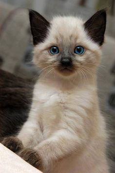 """So precious!  This kitty reminds me of Marshie, my Siamese-mix with chocolate points.  That's why her nickname is appropriately """"Chocolate."""" ~"""
