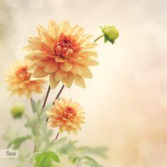 Dahlia Flowers by Svetlana  Foote / 500px