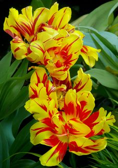 Tulipa 'Monsella' #2 | Flickr - Photo Sharing!