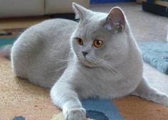 foto kat britse kort haar - Google zoeken
