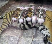 cute baby animals | CUTE BABY ANIMALS tigers, pig, pigs, piglets, friends, cute, animals ...