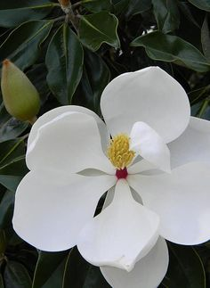 ~~Pure White Magnolia Blossom by Warren Thompson~~