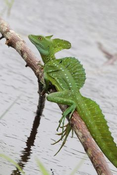 Top 10 Plumed Basilisk Facts - The lizard that can walk on water? Top 10 Plumed Basilisk Facts – The lizard that can walk on water? Reptilien Top 10 Plumed Basilisk Facts - The lizard that can walk on water? Reptiles Et Amphibiens, Cute Reptiles, Mammals, Chameleon Pet, Cute Lizard, Pet Lizards, Monitor Lizard, Water Animals, Exotic Pets