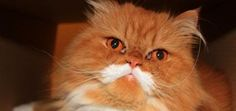 Meet Oki the Cat -- And His Luxurious Mustache | Catster