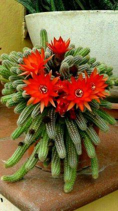 Cactus Flower, Cactus Plants, Cactus Y Suculentas, Flowers, Beautiful, Decor, Garden, Terrariums, Types Of Cactus