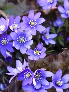 1 of 3 flowers- Blaveis representing Norway