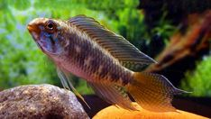 Offering Apistogramma cichlids for sale daily. Apistogramma cichlids are also popular amongst aquarium hobbyists who fancy dward cichlids. Swordtail Fish, Platy Fish, Aquarium Fish For Sale, Red Cherry Shrimp, South American Cichlids, Beautiful Tropical Fish, Rare Fish, Red Mask, Little Fish