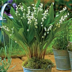 A showstopping improvement over the delicate, sweet-smelling original! Giant Lilyof- the-Valley produces blooms that are larger and increasingly abundant, and the familiar fragrance carries to new heights. A perfect choice for containers and shade gardens.Convallaria majalis 'Bordeaux'