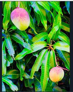 Photographed in Honolulu, Hawaii. Fruit Plants, Fruit Garden, Fruit Trees, Growing Passion Fruit, Mango Tree, Beautiful Fruits, Sun And Water, Tropical Fruits, Exotic Birds