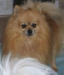 Rusty is an adoptable Pomeranian Dog in Culbertson, NE. Please contact Charlotte ( charlotte5050@yahoo.com ) for more information about this pet. Rusty is very calm and quiet. He only barks when I am...