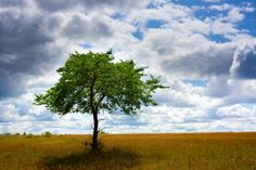 Beautiful lone tree #stockphoto #nature #free http://www.adigitaldreamer.com/gallery/displayimage.php?album=2&pid=960