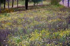 sown perennial meadow in the Fantasticology zone, Olympic Park - gold & yellow mix, Sept 2015