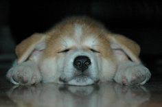Zzzz'in it - Puppy version.  Story of Hachiko is an amazing one.  Love these magnificent ones! Akita Puppies, Akita Dog, Dogs And Puppies, Doggies, White Husky Puppy, Puppies With Blue Eyes, Hachiko, Anatole France, Puppy Pictures