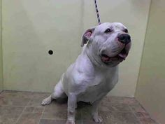 Manhattan Center BIG BILLY - A1028204 MALE, WHITE / GRAY, PIT BULL MIX, 2 yrs, 6 mos STRAY - STRAY WAIT, NO HOLD Reason STRAY Intake condition EXAM REQ Intake Date 02/18/2015, https://www.facebook.com/Urgentdeathrowdogs/photos/pb.152876678058553.-2207520000.1424633485./964534743559405/?type=3&theater