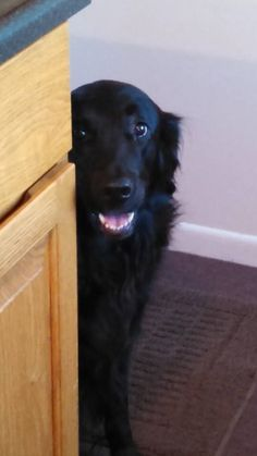 My flatcoat retriever!