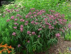 Florida - Native butterfly nectar and host plant (Monarch) - Asclepias incarnata (Pink Swamp Milkweed)