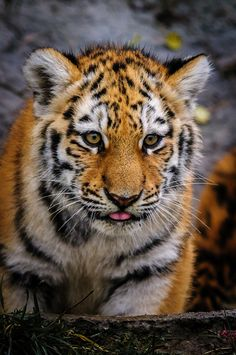 Sumatran Tiger cub  (by Richard Langford)