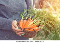 Woman holding a basket of freshly picked carrots in a carrot field on a farm on a sunny day. Coloring and processing photo with soft focus in instagram style