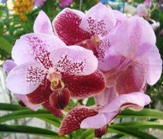 T 4679 lc mari 39 s song 39 ctm 217 39 4 pot orchids pinterest flowers - Vanda orchid care ...