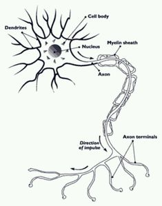 nerve cell diagram see more nerves