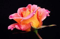 Rose from Reynolda Gardens