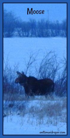 Moose, RM Montmartre, Saskatchewan, March 2018. Credit: Anita Mae Draper Canadian Wildlife, Moose, March, Blog, Photos, Image, Pictures, Mousse, Blogging