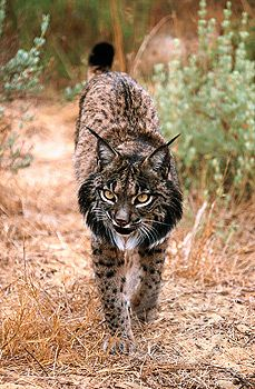 Iberian Lynx. Love the look of this animal although he is a little mean looking. May be just hungry!!