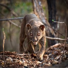 Fossa: The fossa is the largest predator on Madagascar and is a strange mix between a weasel and a cat. Growing up to six feet in length, including their tails, they're believed to have descended from a mongoose-like animal.