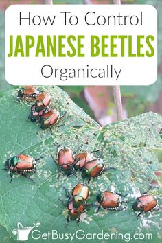Japanese beetles are destructive garden pests. Learn everything you need to know about them, including tons of organic methods to control Japanese beetles. Planting Vegetables, Growing Vegetables, Vegetable Garden, Veggie Gardens, Gardening For Beginners, Gardening Tips, Container Gardening, Japanese Beetles, Garden Pests