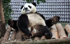 A giant panda rests at Xiuning Giant Panda Ecological Park in Huangshan, China. Picture: China Foto Press / Barcroft Media