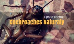 there are numerous natural remedies that can be used to get rid of a cockroach infestation in your house. Stated below are some of them, have a quick look.