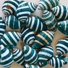 Teal-white striped shells Facebook: Anna Maria Island Beach Life www.annamariaislandhomerental.com