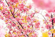 Pink Cherry blossom Tree!!!