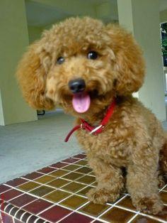 poodle puppy cut