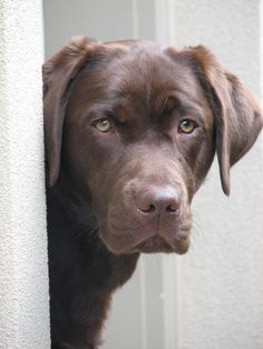 Lovely chocolate lab