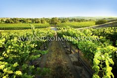 Photography Art - Grape Vineyards AvalonProImaging.com (click on Wall Art Store) Available to order in a variety of sizes on photo paper, canvas or metal.