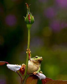 frog on a rosebud