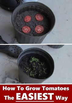 My late mother use to do this,germinate tomato seeds by just cutting your tomato into slices and laying them on top of the soil.Cover them lightly and in no time you will see your babies coming up.—with Santana Matekuare.