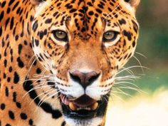"""""""Without question, the highlight of any trip to the region would be seeing a jaguar - the largest cat in the Americas and third-largest in the world."""" Pantanal Wildlife; www.bradtguides.com"""