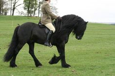 The Dales pony is a strong, active pony, full of quality and spirit.