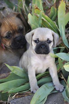 Pugalier Puppies Pug x Cavalier King Charles Spaniel Ready Cavalier King Charles, King Charles Spaniel, Chug Puppies, Dogs And Puppies, Pugs, French Bulldog, Babies, Sweet, Babys