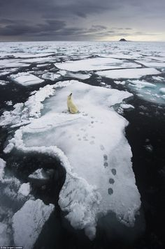 a lone polar bear takes a break on an ice floe around the islands of Svalbard in northern Norway earlier summer