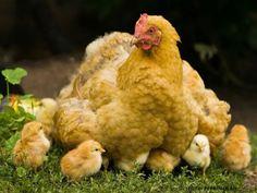 Manejo são as práticas de manuseio das aves. São normas do processo de criação de frango e galinha caipira que, quando bem empregadas, podem explicar o sucesso do negócio