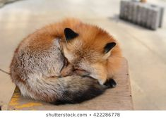 Find sleeping fox stock images in HD and millions of other royalty-free stock photos, illustrations and vectors in the Shutterstock collection. Fox Stock, Japanese Fox, Sleeping Drawing, Fox Images, Drawing Studies, Pet Fox, British Wildlife, Pet Peeves, Fox Art